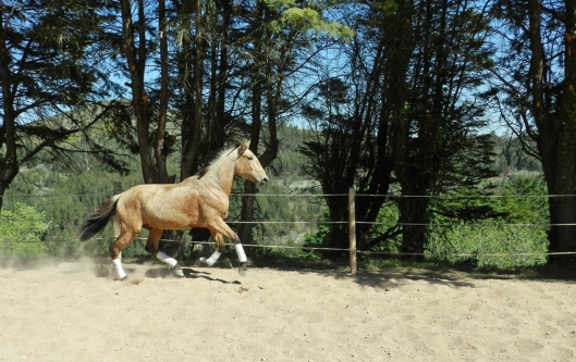 Espada, 3 year old PSL Lusitano Stallion at Quinta do Brejo