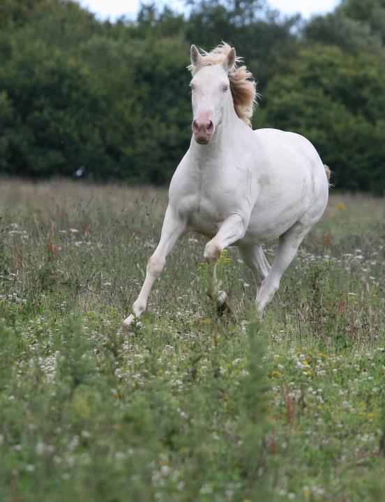 Spanish Mustang Mare 'Moon Fox'