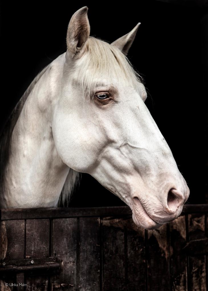 Bailador, Lusitano stallion www.charlottewittbom.com